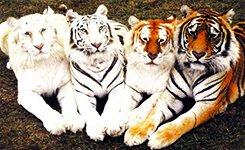 tigry5 - Азиатские тигры. Сингапур - Куала - Лумпур