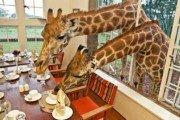 Завтрак с жирафами в Giraffe Manor