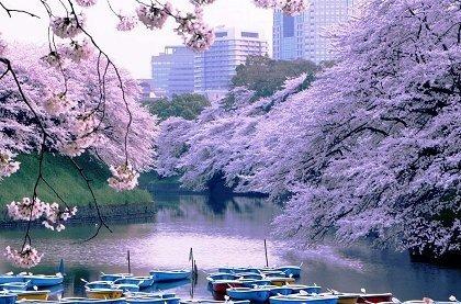 Поездка в Японию в момент цветения сакуры