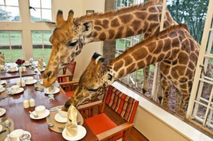 завтрак с жирафвми