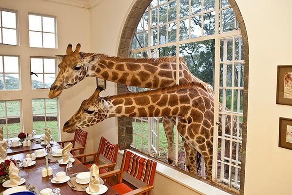 giraffe-manor6